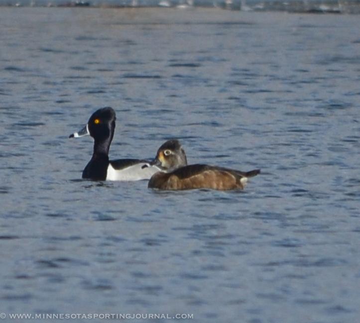 31914 - sd snow geese ducks mallards pintails-47