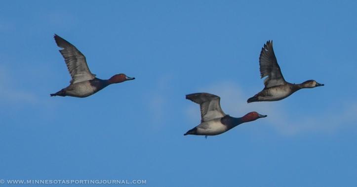 31914 - sd snow geese ducks mallards pintails-54