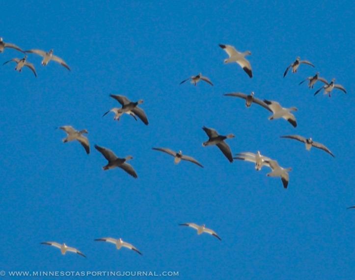31914 - sd snow geese ducks mallards pintails-8