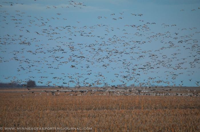 31914 - sd snow geese ducks mallards pintails-81