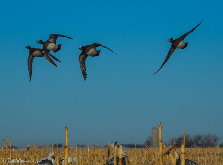 32014 - snow goose sd day 5 pintails wigeon-5