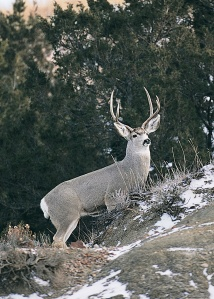 The North Dakota Game and Fish Department is making 48,000 licenses available to hunters this fall, 11,500 fewer than last year.  Pictured: Mule Deer