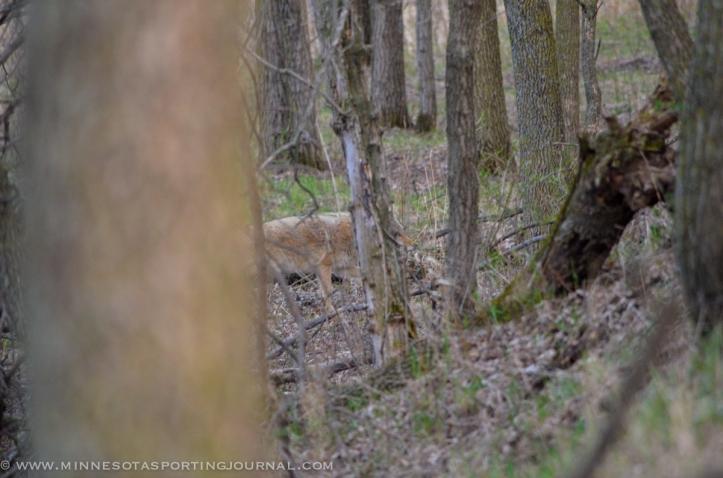 5114 - coyotes-3