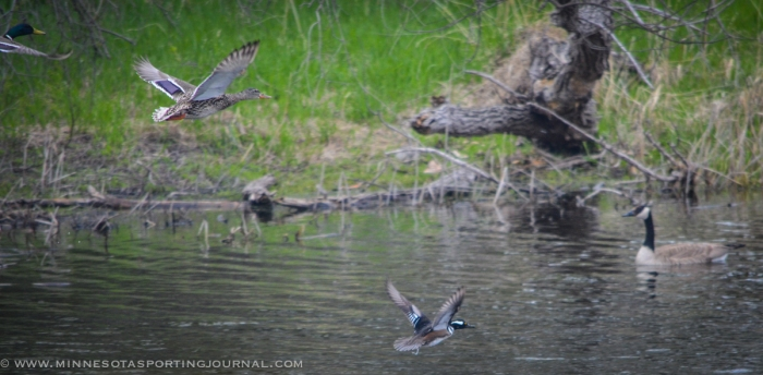 51614 - mergansers in flight-2