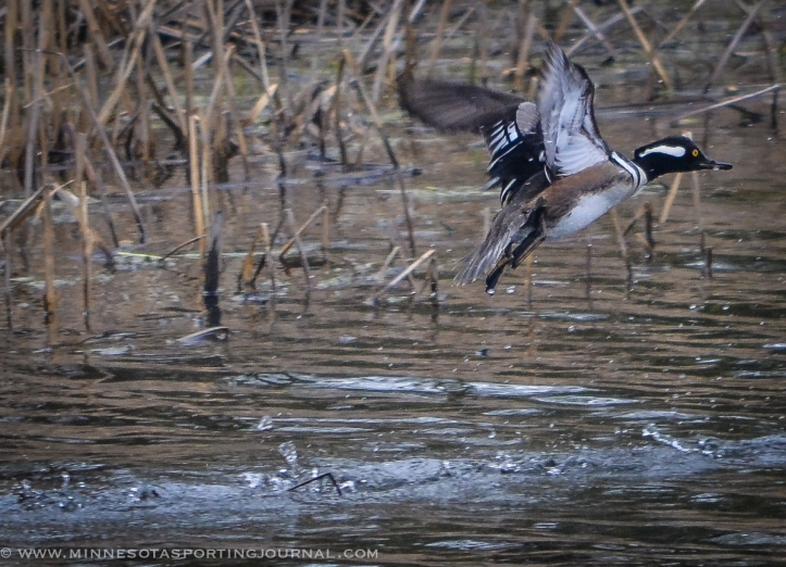 51614 - mergansers in flight