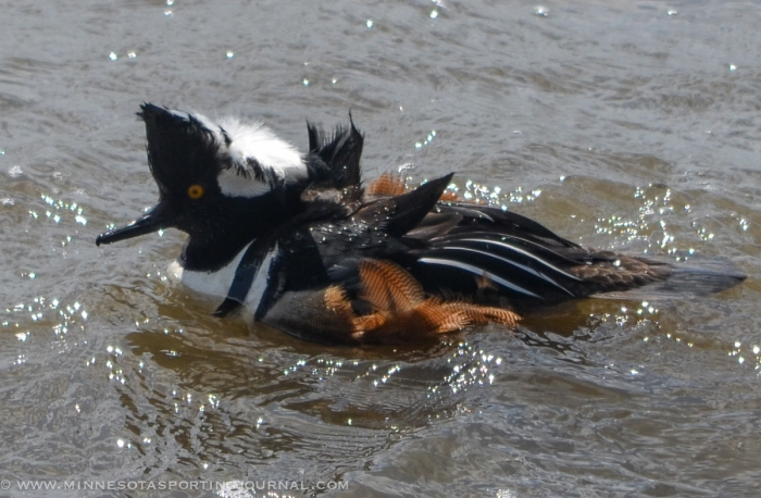 5214 - hooded mergansers-4