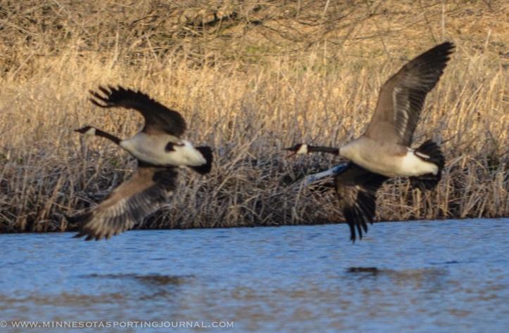 5314 - goose fight closer-2