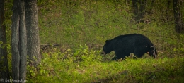 FROM THE DNR: Special Request to Bear Hunters, Ely Poacher is Busted, andMore