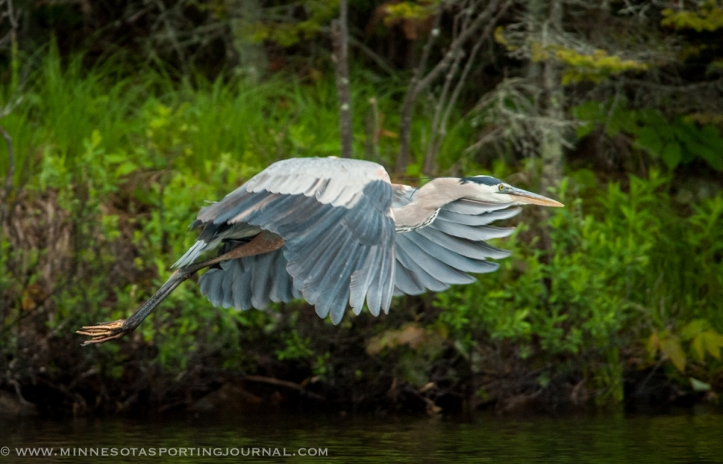 Great Blue Heron takes off from his perch along shore.