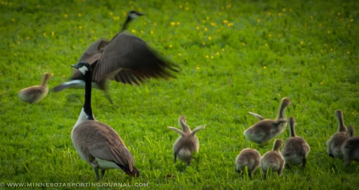 6214 - geese goslings band-4