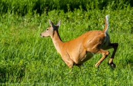DNR ANNOUNCES PROCESS TO REVISIT DEER POPULATION GOALS IN 2015