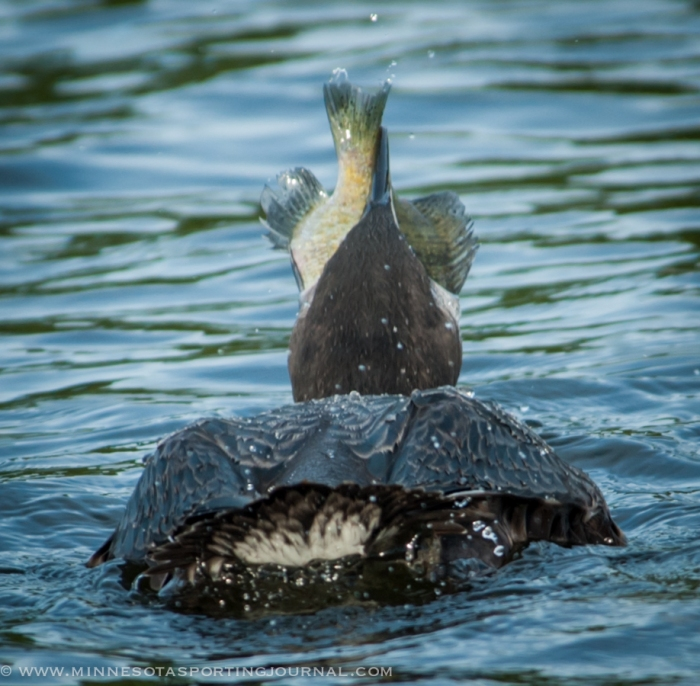 81414 - loon eating bluegill