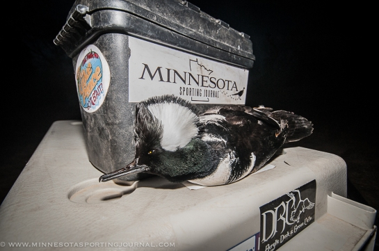 11114 - mika hooded merganser-22
