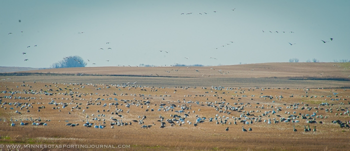 11114 - snow geese field