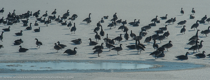 Geese resting on the ice