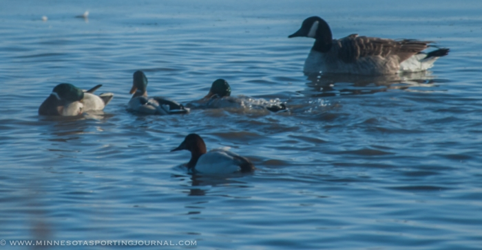 A lone bull canvasback swims with mallards and canada geese.