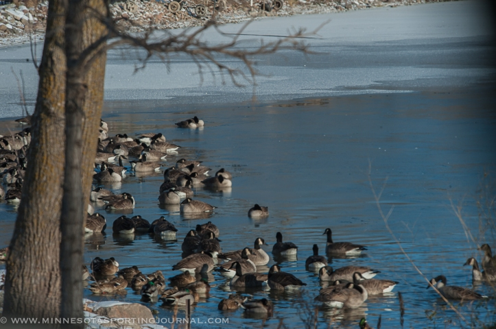 Geese rest in one of the few remaining spots with open water.