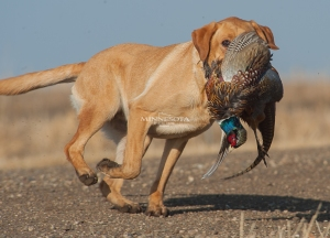 121414 - south dakota pheasant-16