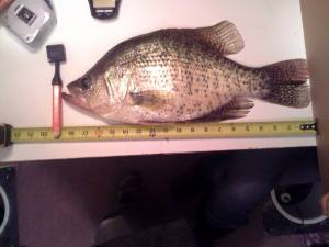 19 inch crappie tape measure
