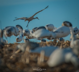 Diary Of A Snow Goose Hunter Entry:  Calling in a Sandhill Crane!
