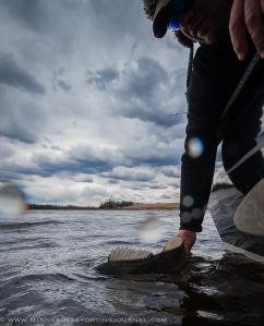 David Wallin releases a walleye
