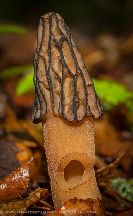 MNSJ Radio Podcast: Jamie Dietman talks morel mushroomtips