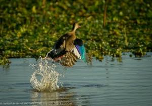 52115 - brazilian teal taking off water
