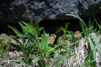 52919 - Timber Rattlesnake